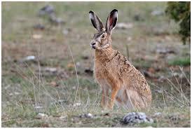 Période de chasse: attention à la tularémie! -